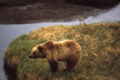 Yellowstone grizzly